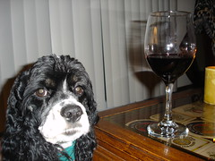 Atticus the Wine Connoisseur (Bucket2005) Tags: dog pet tag3 taggedout 100v tag2 tag1 wine spaniel cocker atticus
