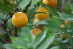 Orange Tree (by Steve Webel)