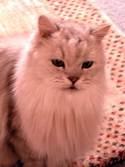 Grumpy Fluffy (Philosopher Queen) Tags: winter cats lazy ccc30
