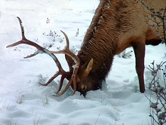 Wild Elk, Deep Snow - by Creativity+ Timothy K Hamilton