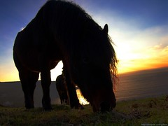 Munchies (MadPole) Tags: uk horses horse caballo cheval ross cornwall kali uma cal ponies ros cavallo cavalo pferd esp mal kin konie each kuda alogo ka horsies hest equus hevonen chevaux paard cavall kon hors sous  rta kone yegua hst  hesp assa   l  morin ko arklys hestur hynder  whitesandsbay chaval koniki  perd  eoh  zaldi k caval chelee  ks caballu konj march  kabayo soquili sobah kobila evalo hobu hobune cjaval cabalo  ippos   kavaju  ghod  av  turag hross kavalo capall  kudure ciaval tashunke caballus zirgs k  iemel cahuayo kavale hengest mearh kaviyu grast harmasari grasni load heasta cubaddu acchettu coallu va k  beygir  madpolestream