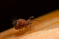 macro macro springtail (Lord V) Tags: macro bug insect springtail collembola ornata dicyrtomina