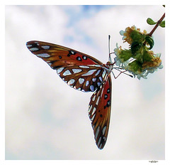 butterfly 9 (eye of einstein) Tags: inspiration nature animal butterfly insect hawaii interestingness gutentag 321 100v10f lepidoptera papillon insecte babel 50v5f top500 lpidoptre critic1 critic2 critic3 ilovenaturel 50interestingness010806