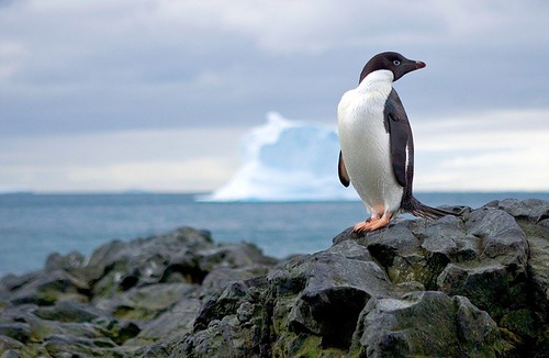 Nature Images Photography adelie penguin antarctica