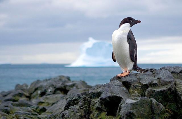 adelie penguin antarctica