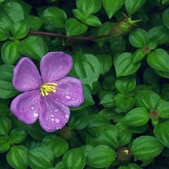 After the Rain (espion) Tags: nature topv111 ilovenature flora iso400 100v10f 150 periwinkle raindrops f56 90mm singaporebotanicgardens mytop20 1000v melastomamalabathricum sendudok straitsrhododendron