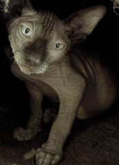 Elrond, very annoyed. (Vina the Great) Tags: angry cat sphynx hairless elrond sarandy bw ps otherwise snarl bodylanguage