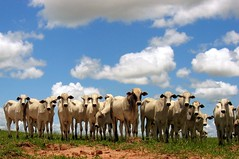 Home on the Range (joaobambu) Tags: blue brazil cloud topf25 grass animals brasil clouds rural countryside cow lyrics cattle cows song stock himmel 20