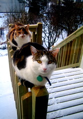 My cats waiting for me to... (sara vilbergs) Tags: cats snow stairs 100v10f catloaf top20catpix top20hallfame kalt top20halloffame snjr kisur motherson kettir furried snur rsna