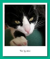 Teco (selenis) Tags: teco cat gato felino feline pet animal pb bw