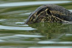 meet sssssmarty alu... ♫ water monitor lizard from bali♫ (bocavermelha-l.b.) Tags: d70s godzilla jurassic hallo goanna alu 500mmf4dii tc20eii varano varanussalvator inbali watermonitorlizard lagartomonitor foundinnusadua most–difficult–captures south–china–sea inindonesia c–20ii jurassicbeing wildlifebali