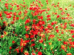 Amapola 4 (bogavanterojo) Tags: flores flowers botanica amapolas