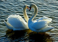 love you. (algo) Tags: swans lake wind heart reservoir bravo water waterfowl birds wavelets light contrejour feathers wings plumage beak beaks neck necks topv555 topf50 wow 123321123n godday algo gtaggroup goddaym1 specanimal bird topf100 topv1111 exploretop20 animalkingdomelite topf150 swan schwan love cygne oiseau abigfave topv2222 searchthebest 3000v120f topf200 topv3333 1on1naturephotoofthedayfeb2007 1on1naturephotooftheday splendiferous utata supershots supershot potwkkc28 interestingness topv5555 kriskros topf300 topv7777 swanheart hawaalrayyanfav topv9999 topv11111 topv55555 schwäne photography