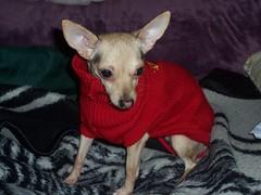 Moda canina 1 (Estelita) Tags: dog chihuahua sweater rata asquerosa suter