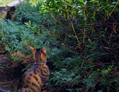 Just Your Everyday Stalking (Zulpha) Tags: trees lady cat bush hidden stalker lula canoneosd30 ladylula