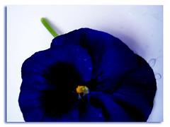 Perfet LOVE (Leley) Tags: blue azul purple drop gota pansies amorperfeito