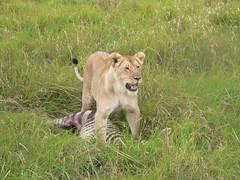 On Guard (Stanley J. Kraska III Photography) Tags: africa wild food nature animal dead death kill kenya lion safari eat zebra catch prey hunt kraska