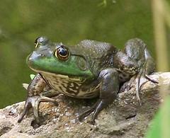 Big Frog (Lisa4414) Tags: 2005 green nature tag3 taggedout ilovenature tag2 tag1 lisa maryland frog lookatme animalplanet thebiggestgroup