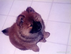 my little baby...^-^ (woolloomooloo) Tags: boy dog baby cute love puppy fluffy woolloomooloo happybirthday browndog chubby pompom chowchow fewmonthsold