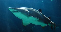 Cruising (Ottie) Tags: 15fav tag3 taggedout wow aquarium shark tag2 tag1 capetown vawaterfront twooceansaquarium interestingness290 i500 raggedtoothshark carchariastaurus explore7feb06
