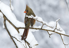 Snow Queen (martytdx) Tags: snow birds topv111 female 1025fav ilovenature backyard bravo top20wings lifelist cardinal 100v10f fv5 blizzard songbird cardinaliscardinalis northerncardinal februaryblizzard