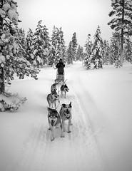husky (Berat) Tags: trip trees winter white snow black dogs canon suomi finland eos husky europe lappland eu 2006 lapland february scandinavia lappi berat laponia ginordic1