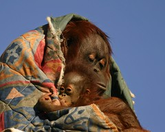 bonding (kwilliams) Tags: baby snuggle zoo orangutan ape bonding motherandbaby sigma50500 sigmabigma top20zoopics gulfbreezezoo specanimal specanimalphotooftheday kwilliams