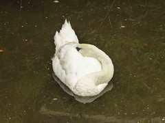 Swan A-Sleeping (Mabacam) Tags: reflection bird london thames river swan waterbird kingston riverthames kingstonuponthames 2015 sleepingswan