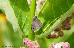 Banded Hairstreak (Lynnemvt) Tags: wisconsin butterfly insect lumix wildlife small butterflies panasonic tiny dmc fz1000