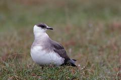 Artic Skua / Kleine jager (Kees Waterlander) Tags: foula kleinejager kortevakanties shetland stercorariusparasiticus scotland gb schotland articskua