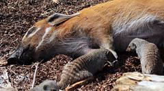penseelzwijn en gestreepte mangoest Beekse Bergen JN6A9441 (j.a.kok) Tags: bergen mongoose beekse mangoest bandedmongoose gestreeptemangoest
