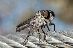 Robber fly (Rob Reaburn Photography) Tags: macro insect fly australia robberfly robber invertebrate