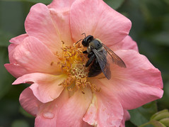 Rose and Bee (Shotaku) Tags: pink flowers roses plants flower macro rose closeup garden bees rosa insects bee alltherage 2015