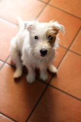 Sushi (Steph ) Tags: dog love sushi jack eyes russell jackrussell doglovers