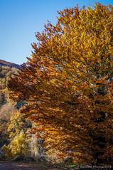 El árbol en llamas (SantiMB.Photos) Tags: autumn españa tree árbol otoño esp navarra aribe valledeaezkoa 2tumblr sal18250 2blogger