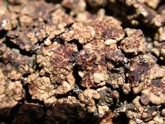 Acarospora fuscata (aburgh) Tags: scotland lichen shetland unst crustose acarospora saxicolous blsfieldmeeting