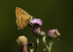 Brown Hairstreak (Male) (Markp33) Tags: