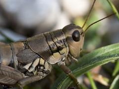 P8040056 (turbok) Tags: heuschreckenorthoptera insekten tiere c kurt krimberger