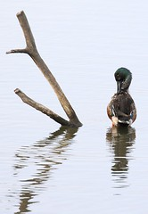 TF2A2375-cuchara (jgarcimor) Tags: aves birds wildlife naturaleza teich pato cuchara northern shoveler