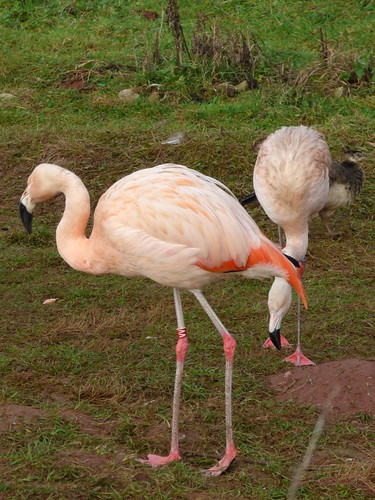 South Lakes Zoo - flamingo
