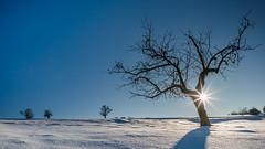 Winter (Bastian.K) Tags: schwarzwald black forest schwarz wald eis snow eisig snwoy ice schnee schneefall baum tree old sun sunstar starburst blende blendenstern sony a7rii a7 alpha7 alpha7mkii loxia2128 zeiss carl carlzeiss loxia 21mm 28 blue sky himmel blau blauer winter cold kälte germany deutschland altensteig