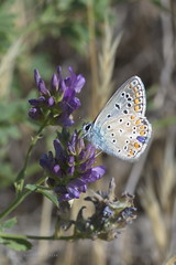 "lysandra bellargus • <a style=""font-size:0.8em;"" href=""http://www.flickr.com/photos/15452905@N02/31828514095/"" target=""_blank"">View on Flickr</a>"