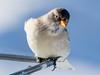 White-winged snowfinch / Schneesperling (Montifringilla nivalis) (ralph_behrens) Tags: whitewingedsnowfinch schneesperling montifringillanivalis bird birds vögel vogel lechamarlberg lech austria österreich vorarlberg olympus oly olympusomdem1markii 300mmf4pro mft