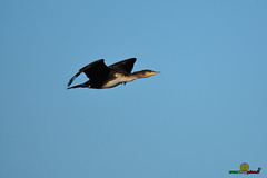 A-LUR_5704 (ornessina) Tags: trasimeno umbria byrd uccelli aironi cormorani toscana va orcia