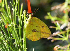 Large Orange Sulphur (Phoebis agarithe)