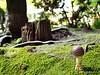 Japón (60 MILÍMETROS) Tags: japan funghi micología tocón naturaleza seta japón em10