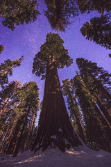 The Heavens and the Sequoia - Grant Grove, January 2017 (kern.justin) Tags: sequoia giant california national parks nps nps100 muir lodge night moon sky purple astrophotography astro wide field milky way skies trees grant grove kings canyon oregon tree general really right stuff carbon fiber tripod nikon d800 1424mm f28 iso6400 6400 iso