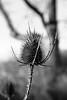 (Melazart) Tags: noiretblanc blackandwhite noir blanc black white danger rail chardon plant flower winter cold