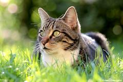 Au jardin - Tex (2011) (Robert Claessens) Tags: robert bob claessens chat cat kat peaceful quiet paix douceur