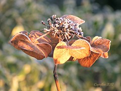 Frost on the hortensia. (Cajaflez) Tags: plant flower bloem verdroogd winter frost rijp sunshine zon ngc coth5
